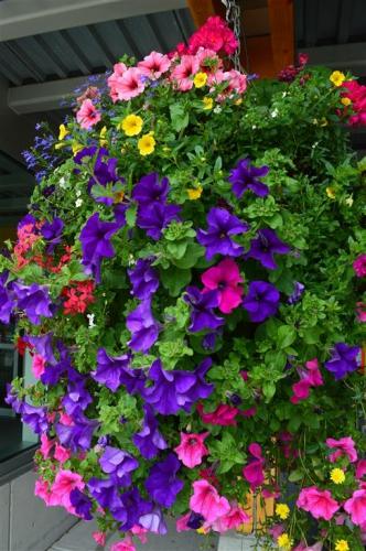 July - Hanging basket at YYJ.